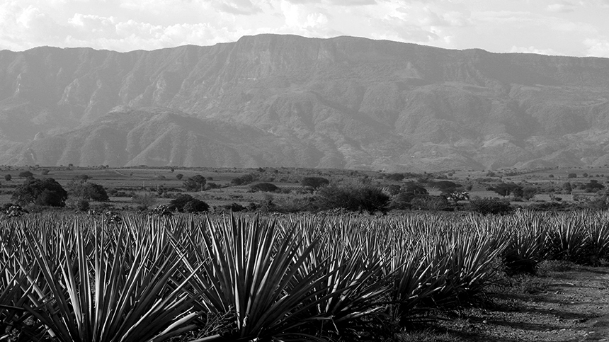 agave plants, tequila region