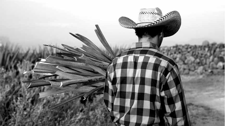 An Agave field worker carrying a freshly harvested Pina in the Casa Dragones estate. Tip of the pina plant sticking out over his shoulder.