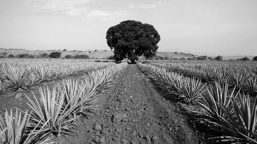 Casa Dragones' agave estate, with a trail of volcanic soil leading up to a tree in the centre.